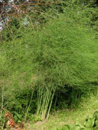 200px-asperge_planten_asparagus_officinalis