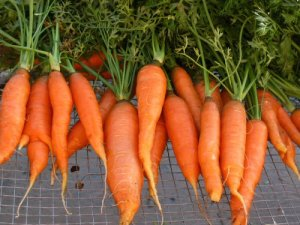 fal2007_touchon_carrots