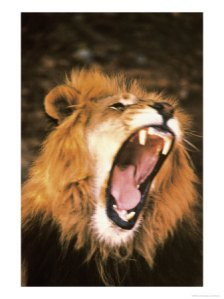 lion-roaring-in-the-wild-photographic-print-c12197429_ivhj