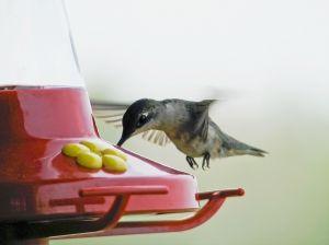 808847_hummingbird